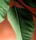 Free Ash Tree Leaf Stock Images - 14193324