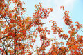 Free Flame Tree Royalty Free Stock Photography - 14195717