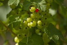 Free Red And Green Currant Stock Photography - 14191912