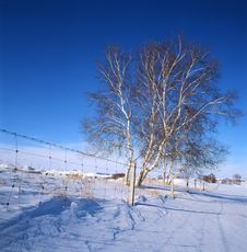 White Birch In The Snow Field Stock Photos