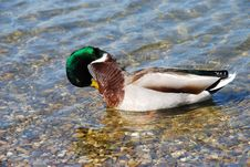 Free Duck On Water - Hygiene Stock Images - 14192304