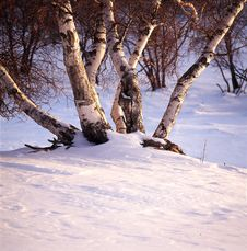 Free White Birch Royalty Free Stock Photo - 14192465