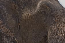 Thai Elephant,asia Elephant Royalty Free Stock Images