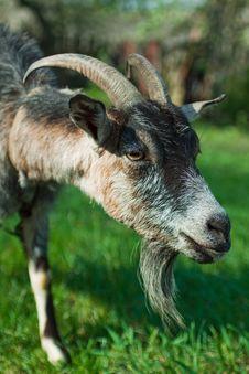 Free Goat Grazing Royalty Free Stock Photos - 14192788
