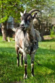 Free Goat Royalty Free Stock Photography - 14192827