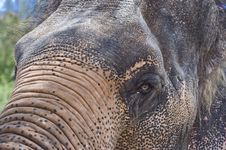 Thai Elephant,asia Elephant Stock Images