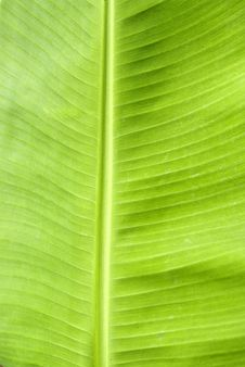 Free Green Fresh Banana Leaf Stock Images - 14193514