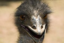 Free Ostrich Ugly But Cute Stock Photos - 14193703