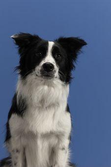 Dog Portrait On Blue Background Stock Images