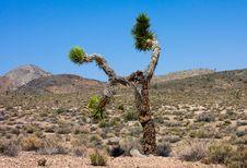 Free Joshua Tree Stock Photography - 14194142