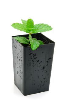 Free Mint Seedling In Pot Isolated Royalty Free Stock Photography - 14194277
