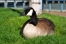 Free Canada Goose Royalty Free Stock Image - 14195926