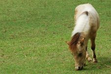 Free Dwarf Horse Eating Grass Stock Photography - 14196222