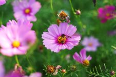 Free Bee On Flower Stock Photography - 14197002