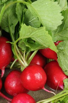 Free Fresh Radishes Stock Photos - 14197473