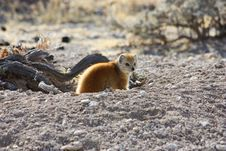 Free Yellow Mongoose (Cynictis Penicillata) Royalty Free Stock Photography - 14197617