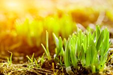 Free Fresh Green Grass Royalty Free Stock Photography - 14197657
