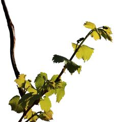Free Grapevine On A White Background Royalty Free Stock Photos - 14197658