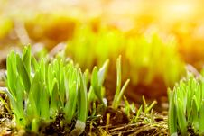 Free Fresh Green Grass Royalty Free Stock Photo - 14197685