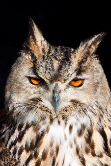 Free Royal Owl - Bubo Bubo Royalty Free Stock Photo - 14197985