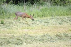 Free Roebuck On The Grazing Royalty Free Stock Images - 14198949