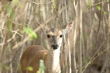 Free Fawn In A Bush Stock Photography - 14199762