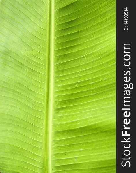 Green Fresh Banana Leaf