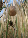 Free Spider Mum Royalty Free Stock Photos - 1422918