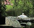Free Nesting Swan Royalty Free Stock Photography - 1425757