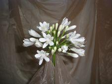 Free White Agapanthus Elegance Royalty Free Stock Photography - 1420997