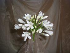 White Agapanthus Elegance Royalty Free Stock Photography