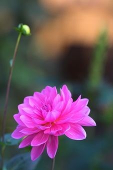 Free Evening Flower Stock Photography - 1421042
