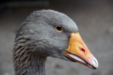 Free Greylag Close-up Stock Photos - 1421373