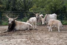 Free Longhorns In Zoo Royalty Free Stock Image - 1421416