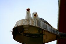 Free ANGRY GULLS Royalty Free Stock Images - 1422229