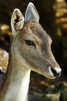 Free Deer Stock Images - 1422434