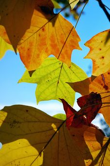 Free Liriodendrum Leafs (1/2) Royalty Free Stock Photo - 1423105