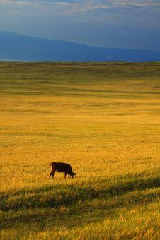 Free Cow Stock Photos - 1423563