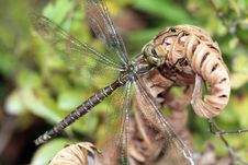 Free Dragonfly Royalty Free Stock Photos - 1423738