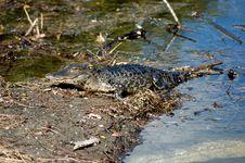 Free Gator Stock Images - 1423804