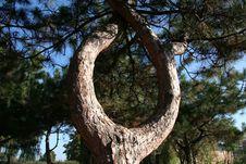Free Pine Stock Photo - 1424460