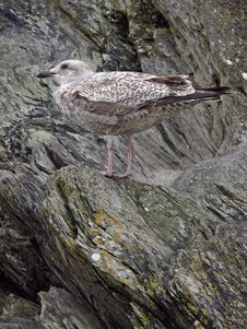 Young Seagull Against Rocks Stock Image