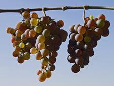 Free Grapes Royalty Free Stock Photos - 1425148