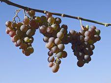 Free Grapes Stock Photos - 1425153