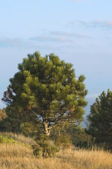 Free Pine On Southern Hills Royalty Free Stock Photos - 1426198