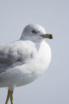 Free Sea Gull SG Stock Photos - 1428413