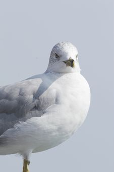 Free Sea Gull SG Royalty Free Stock Images - 1428419