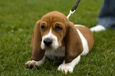 Free Unhappy Basset Hound Sitting In The Grass Royalty Free Stock Images - 1429289