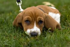 Free Basset Hound Laying In The Grass Royalty Free Stock Photo - 1429295