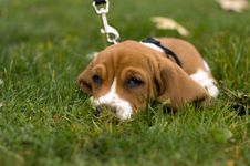 Free Basset Hound Laying In The Grass Stock Photography - 1429302
